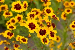 Golden Tickseed (Coreopsis Tinctoria)