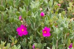 Rockrose (Cistus Incanus)