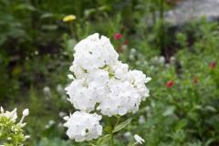 Panicled Hydrangea (Hydrangea Paniculata)