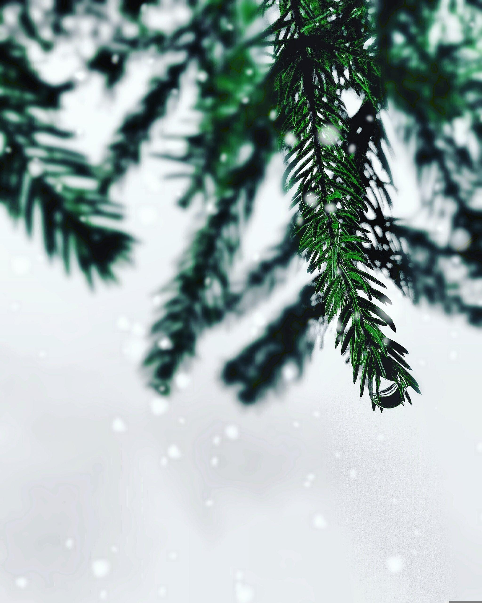 Vancouver Island Christmas Trees